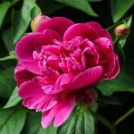 božur cvet strasti