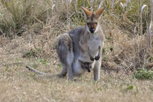 kengur značenje