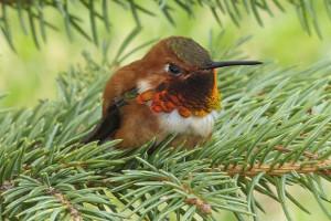 kolibri simbolika