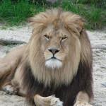 simbolika životinja: lav