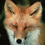 lisica kao simbol