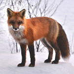lisica u alhemiji