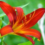 Ljiljan – Simbol Čistote, Nevinosti i Lepote