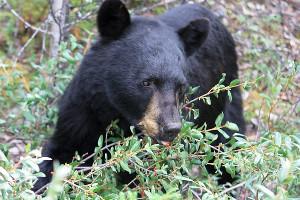 medved simbol i verovanja