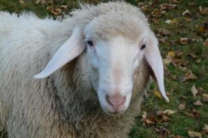ovca značenje