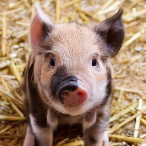 svinja simbol