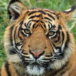 tigar - simbolika i verovanja
