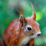 simbolika životinja: veverica