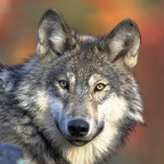 simbolizam životinja: vuk