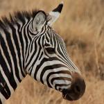 zebra simbolika