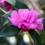 Kamelija – Simbol Savršenstva, Čežnje i Zahvalnosti