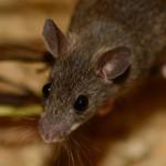 miš kao simbol